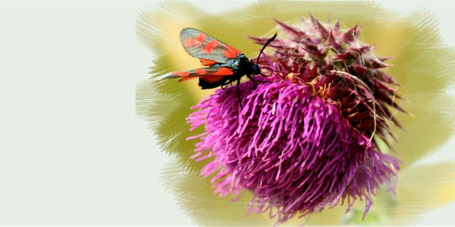 photo papillon rouge sur une fleur
